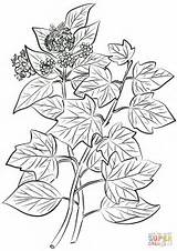 Ivy Coloring Pages Helix Hedera Drawing Common Leaves Flowers Printable Getdrawings sketch template