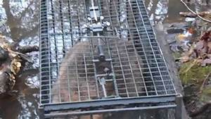Live Cage Trapping Beaver