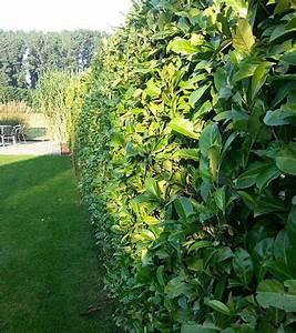 Wer Zahlt Zaun Zwischen Zwei Grundstücken : kirschlorbeer und heckenpflanzen blog ~ Whattoseeinmadrid.com Haus und Dekorationen
