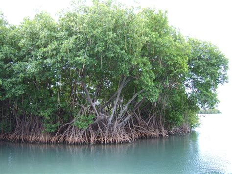 Mangroves: Photos of Plants and Animals   Smithsonian