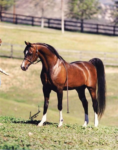 arabian stallions horses khemosabi horse stallion famous most champion sired beloved referred often arab amerigo sire foals caballos varian pretty