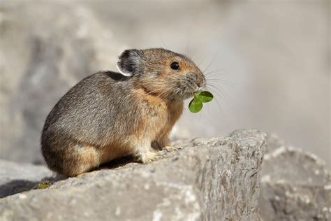 Pika Cute Animals | Interesting Facts & Latest Pictures ...