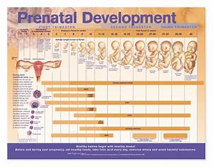 Prenatal Development Anatomical Chart