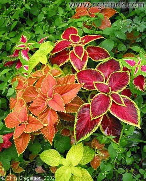 colorful bushes and shrubs shrubs plants and perennial plant on pinterest
