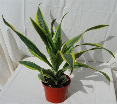 grow ls for indoor plants indoor tropical plants upright inc 100 in door plant