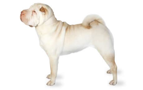 do miniature shar pei shed shar pei breed information pictures