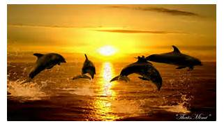 Sunset Dolphins  Beaut...