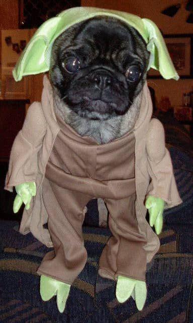 20 Pugs Dressed As Yoda & Darth Vader   Pug dresses, Pugs ...