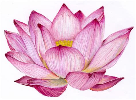 Best Lotus Flower Drawing Ideas And Images On Bing Find What You