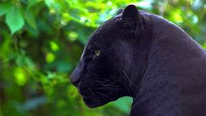 Facts About Bla... Black Panther