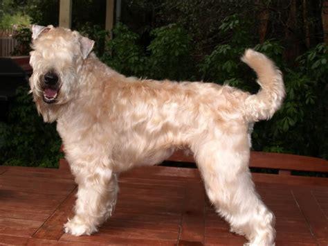 soft coated wheaten terrier breed guide learn