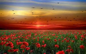 sunset, sky, red, clouds, birds, field, with, poppies, red, flowers, landscape, photography, 4k, ultra, hd, tv
