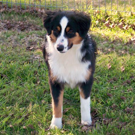 tri colored australian shepherd breeds beginning with m pet paw