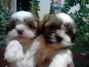 lhasa apso puppies photo