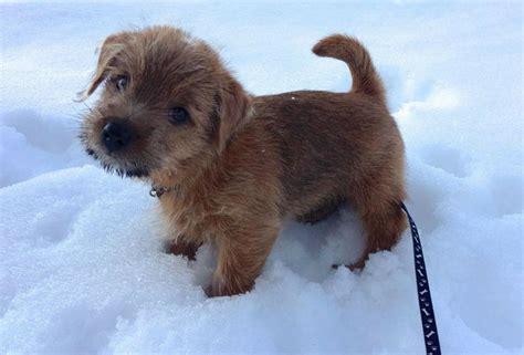border terrier non shedding best 25 norfolk terrier ideas on breeds of