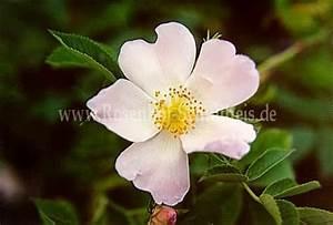 Wilde Triebe Rosen : rosa obtusifolia rosen online kaufen im rosenhof ~ Lizthompson.info Haus und Dekorationen