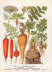 Vintage Vegetable Botanical Print Food Plant Chart Art by ...