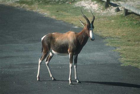 sable antelope angola national animal wallpapers