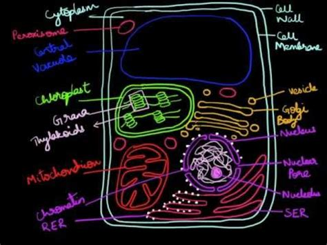 draw  plant cell youtube