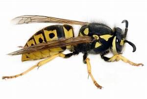 Kupfer Gegen Wespen : emil erkl rt dir die welt wespen vs kupfer ~ Watch28wear.com Haus und Dekorationen