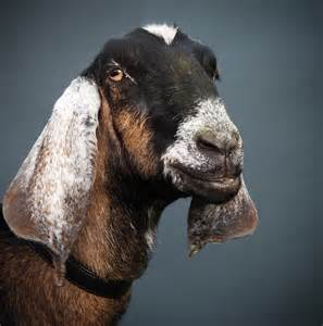 Anglo Nubian Goat