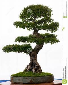 Bonsai Chinesische Ulme : chinesische ulme als bonsai lizenzfreie stockfotos bild 16116048 ~ Sanjose-hotels-ca.com Haus und Dekorationen
