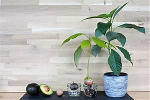 Avocado Baum Pflege : avocadokern einpflanzen vermehrung anbau leichtgemacht plantura ~ Orissabook.com Haus und Dekorationen