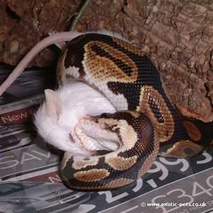 Royal Python feeding - Royal Python or Ball Python