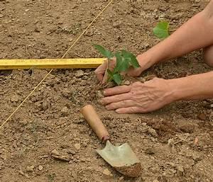 Culture De La Patate Douce : patate douce culture de la patate douce jardinage bio ~ Carolinahurricanesstore.com Idées de Décoration