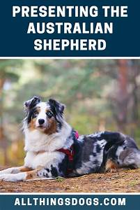 The Australian Shepherd  Or Just Simply An Aussie Dog  Is