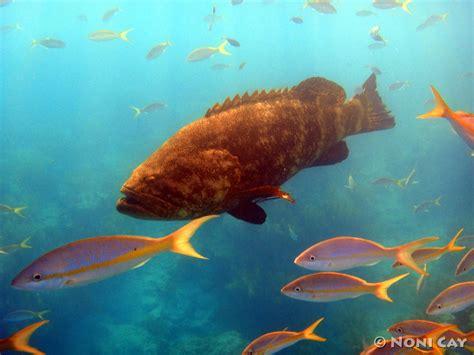 grouper goliath key looe reef atlantic swimming pine fish