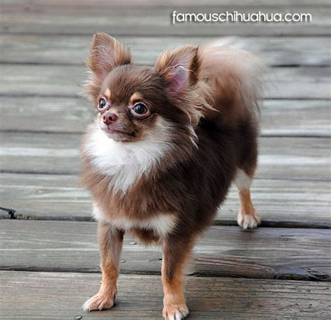 meet taz  long haired chocolate colored chihuahua