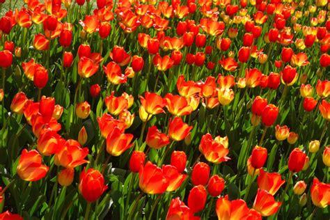 Britzer Garten Bahn by Tulipan Im Britzer Garten Tulpen Parade In Berlin