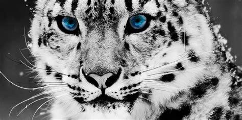amor ojo de leopardo
