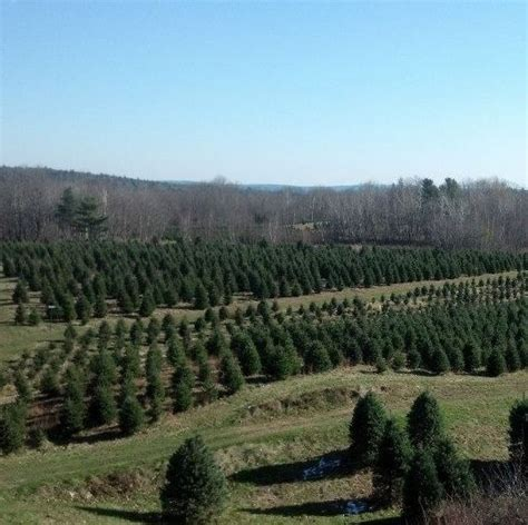 viewer s choice best christmas tree farms in new hshire