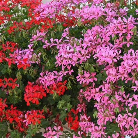 List Of Synonyms And Antonyms Of The Word Trailing Geraniums
