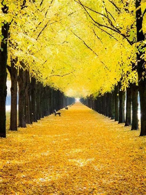 yellow fall leaves pictures   images