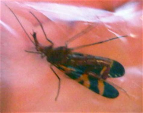 scorpionfly whats  bug