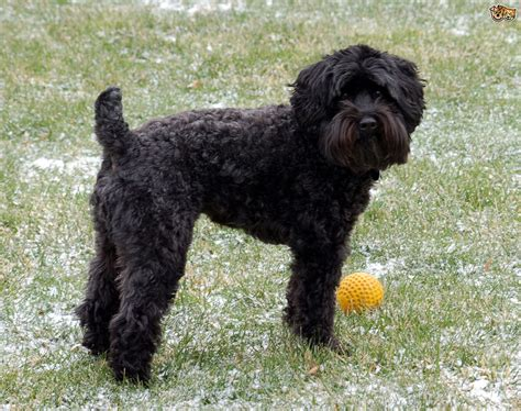 Schnoodle Dog Breed Facts Highlights And Buying Advice