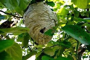 Détruire Un Nid De Guêpes : comment detruire un nid de guepes ~ Melissatoandfro.com Idées de Décoration