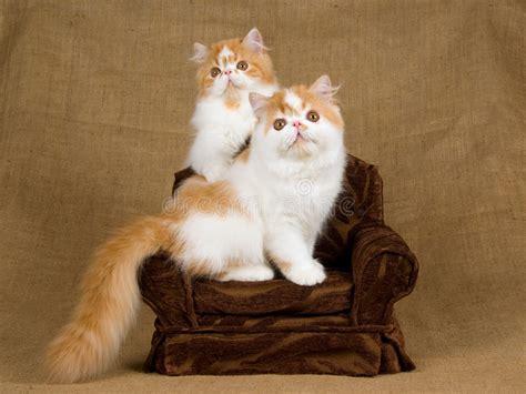 foto persiani 2 gattini persiani e bianchi svegli fotografia stock