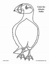 Puffin Coloring Atlantic Drawing Pages Printable Getdrawings Drawings Getcolorings sketch template