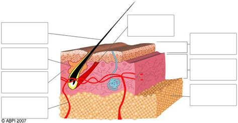 Skin Cell Diagram Label by Skin Blank Labelled Biological Science Picture Directory