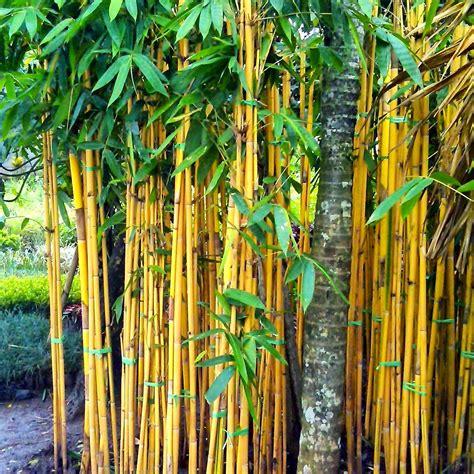 jual pohon bambu kuning jual pohon bambu jepang jual