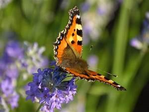Schmetterlinge überwintern Helfen : kleiner fuchs bund e v ~ Frokenaadalensverden.com Haus und Dekorationen