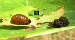 Feuille De Lys : le crioc re du lis crioceris lilii biologie et d veloppement ~ Nature-et-papiers.com Idées de Décoration