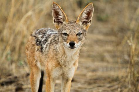 Schakal Foto & Bild  Tiere, Wildlife, Säugetiere Bilder