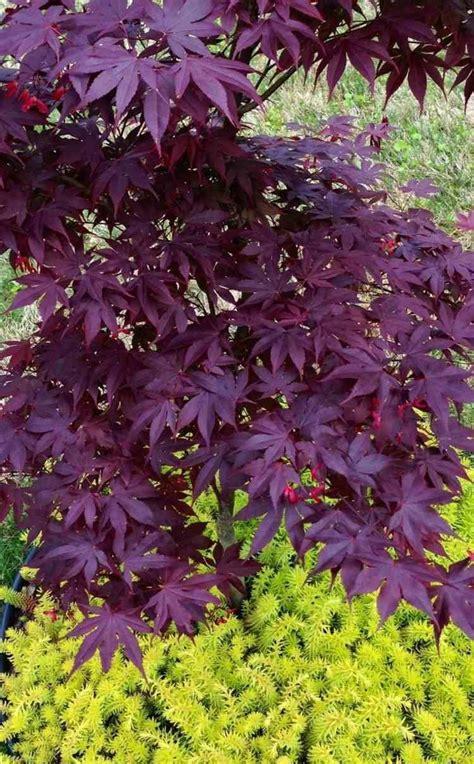 Japanischer Garten Ahorn by Den Garten Mit Dunkelroten Bl 228 Ttern Schm 252 Cken Blumen