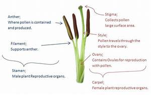 Diagram Of Dissected Lilly