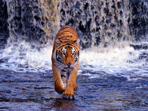 animal wallpaper hd animals pics nature animals tiger